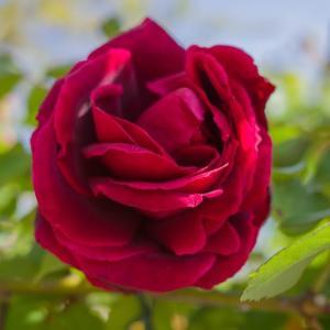バラの季節 GRIII