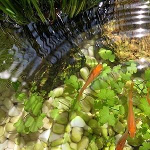 オーストラリアン ノチドメを水上栽培で増やす
