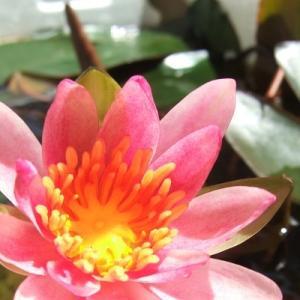 咲かないと諦めていた姫睡蓮がついに咲いた!