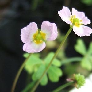 バルデリア ラヌンクロイデス の花が咲きました