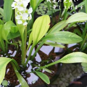 ヒメオモダカが咲く木樽風プランターのパンダメダカ達