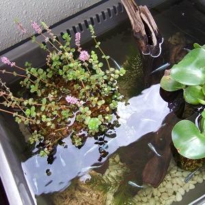 ロタラ ロトンディフォリアの花咲く、幹之メダカのミニビオトープ