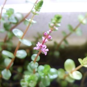 ロタラ・ロトンディフォリアの花が咲いた