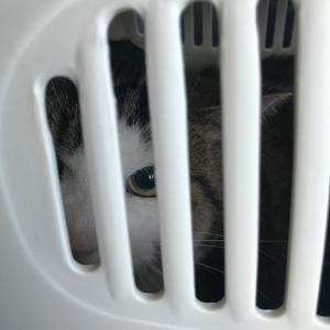 猫の夢羽くん 退院