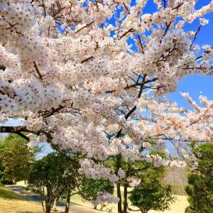 桜満開♪ゴルフに行く?行かない?