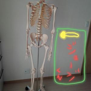 骨格標本が可愛く思えて仕方ない( *˘ ³˘)♡♡♡