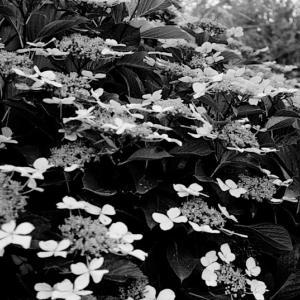 額紫陽花。