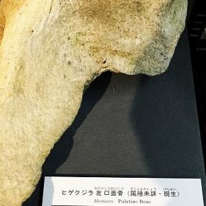 現生ヒゲクジラの口蓋骨をご寄贈いただきました。