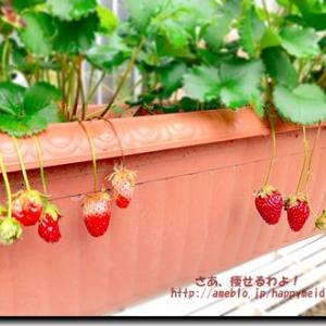 いちごの収穫と甘い物欲減退