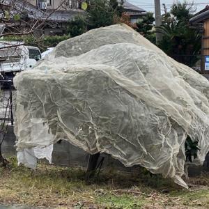 みかんの木の剪定と防鳥ネットかけ