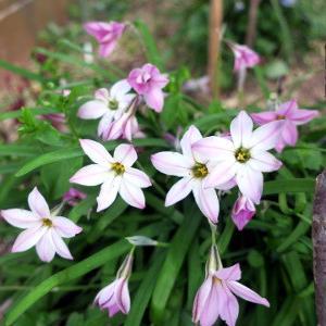 ピンクの花ニラ