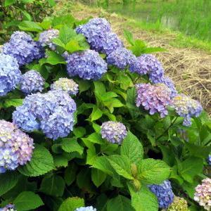 紫陽花コレクション その3