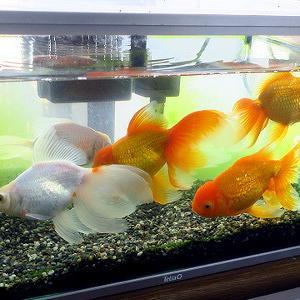 我家の金魚