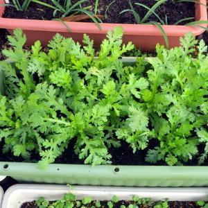 プランタ栽培の野菜