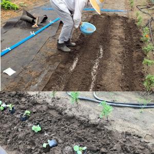 希琳ばあちゃんの畑 秋野菜植え付け