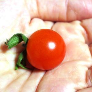 希琳ばあちゃんの畑 ミニトマト