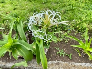 続 ハマユウの花。