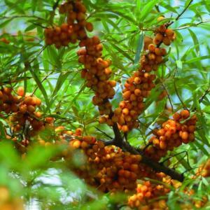 Sandkorn (シーベリー)には200種類以上のビタミンが含まれる