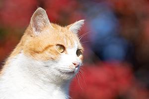 猫さんの緑地が星のような黄葉もみじに