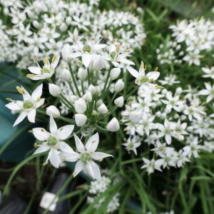 白いニラの花