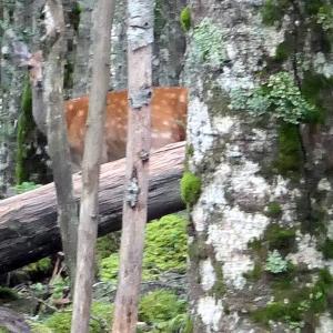 金峰山で鹿と遭遇
