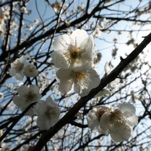 梅の花が満開でした