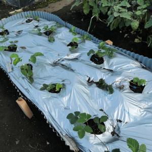 イチゴ苗を定植