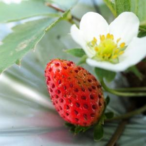 まさかのイチゴ初収穫