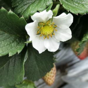 イチゴの花が次々と