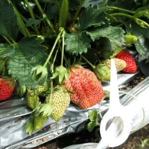 イチゴ収穫中