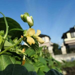 蔓ありインゲンの花