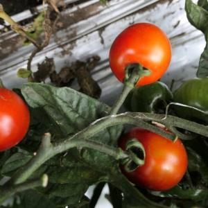 今年にミニトマトは上出来かも