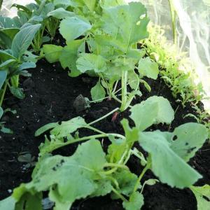 畑は秋冬野菜の季節