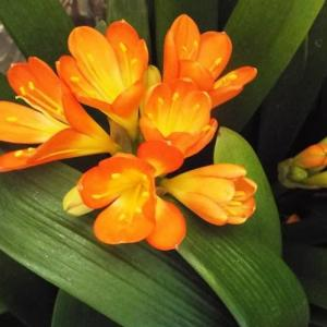 君子蘭とグリーンネックレスの花