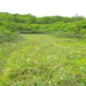 須川温泉付近の高山植物