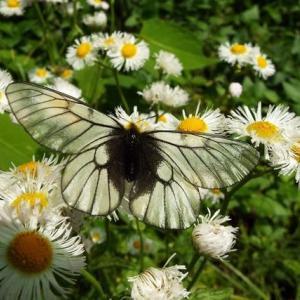 ウスバシロチョウとアゲハ蝶