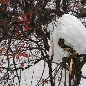 雪害、枝が折れてます