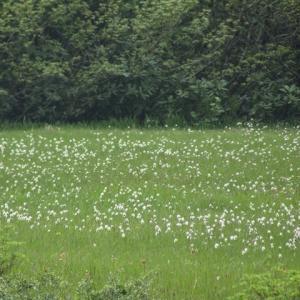 栗駒山の高山植物