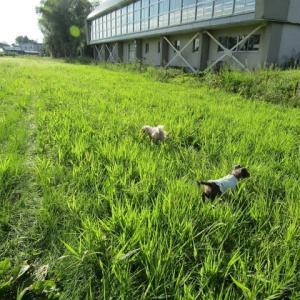 エノコログサが茂るグランド