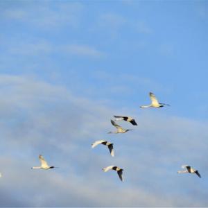 白鳥が続々と帰ってきてます