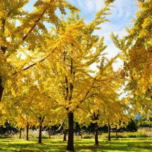 小国町 銀杏並木