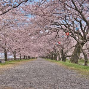 舟川 川沿いの桜
