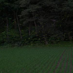 市ノ新田ホタル