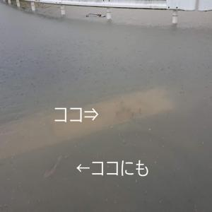 道路お魚(・∀・)