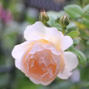 一番花は一段落