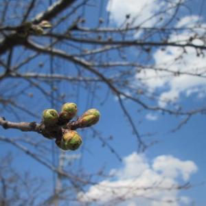 すくすくと 接木たわむれ 春の訪れ