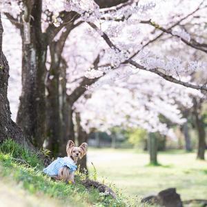 【2020桜】密を避けての早朝レッスンでした