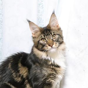 メインクーンブラウンの貴公子、タイガーが生後5ヶ月になりました!