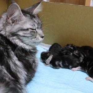 メインクーンの赤ちゃん、キャサリンとソフィー同時に出産!