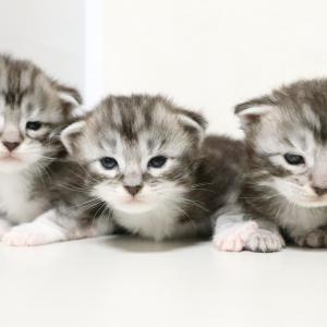 シルバーのメインクーン3匹の女の子たち!